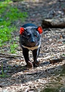 Tasmanian Devil (captive), Healesville Sanctuary, Victoria
