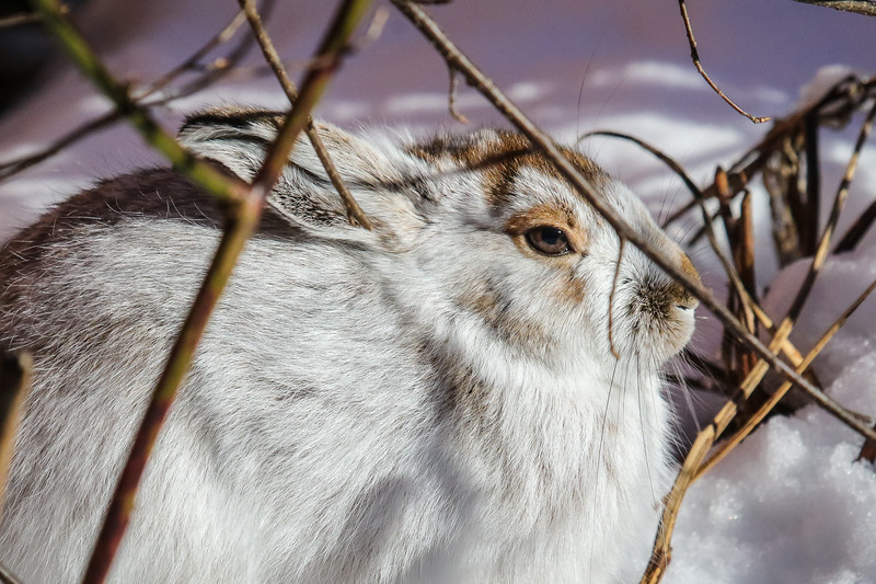 Snowshoe Encounter