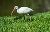 180210 - 4230 White Ibis