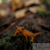 Hi there! I'm an eft! Don't you just want to smile, right now?<br /> <br /> This little fellow was all of an inch long. I was en route to photograph sensitive ferns illuminated by sunlight...but cute newt was so much more enticing!
