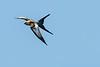 210424 - 3351 Swallow Tailed Snail Kite