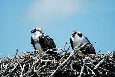 teenaged Ospreys