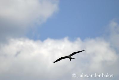 Swallowtail Kite, Corkscrew Swamp, FL