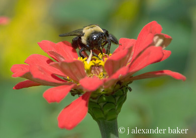 Bunblebee on Zinnia