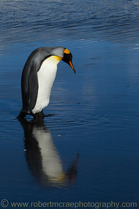 King Penguin reflection at South Georgia.