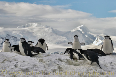 Chinstrap Penguins in Antarctica.