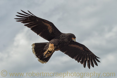 Striated Caracara over the Falkland Islands.