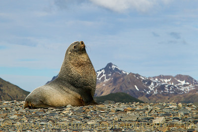 Antarctic Fur Seal at South Georgia.