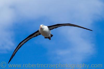 Black-browed Albatross flying at the Falkland Islands.