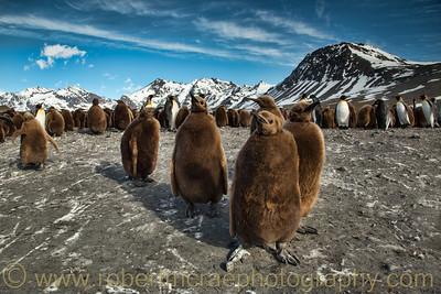 King Penguin chicks at South Georgia.