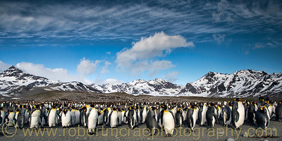 King Penguins at St Andrew Bay South Georgia.  This photo was selected to be included in an e-book to raise funds for South Georgia nesting bird restoration.  The book is free at   http://photosafaris.com/main/south-georgia-ebook/