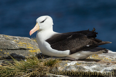 Black-browed Albatross in the Falkland Islands at New Island.