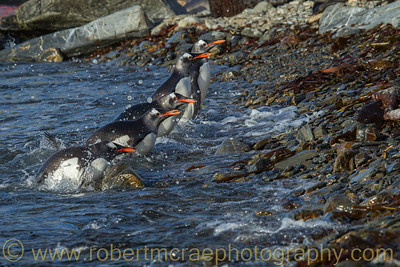 Gentoo Penguins leaving the water in South Georgia.