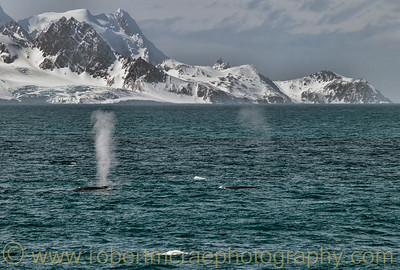 Two Sei Whales in Antarctic waters.