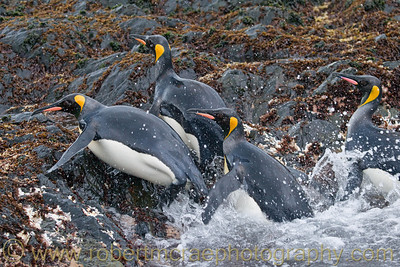 King Penguins coming ashore in South Georgia.   This photo was selected to be included in an e-book to raise funds for South Georgia nesting bird restoration.  The book is free at   http://photosafaris.com/main/south-georgia-ebook/