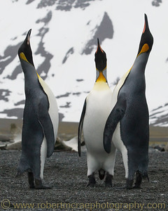 King Penguins at South Georgia.