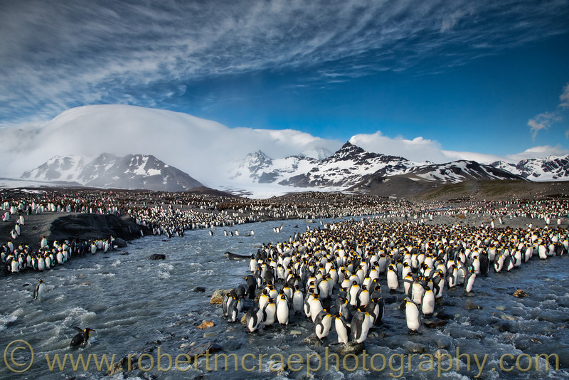 """King Penguins at Saint Andrews Bay"" - Award Winner.  Saint Andrews Bay, South Georgia."