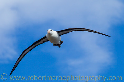 Black-browed Albatross flying at the Falkland Islands.