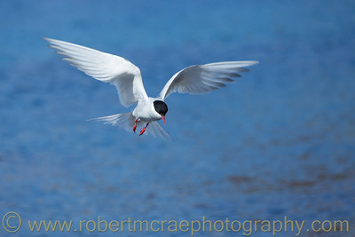 Antarctic Tern at South Georgia.
