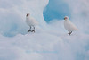 Snowy Sheathbills on Iceberg, Paulet Island, Antarctica