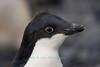 Juvenile Adelie Penguin, Paulet Island, Antarctica