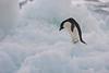 Adelie Penguin on Iceberg, Paulet Island, Antarctica