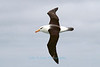 Black-browed Albatross, at sea, Antarctica