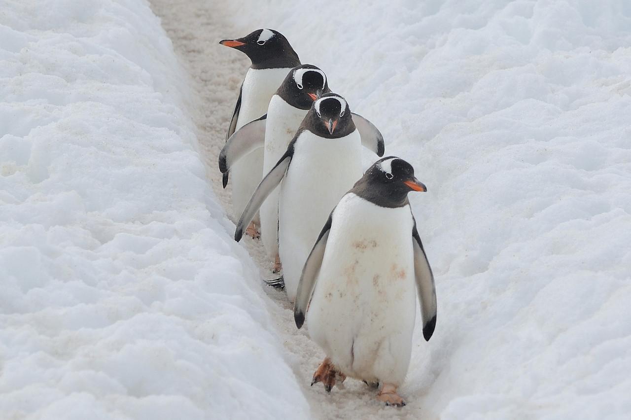 Gentoos on a penguin highway