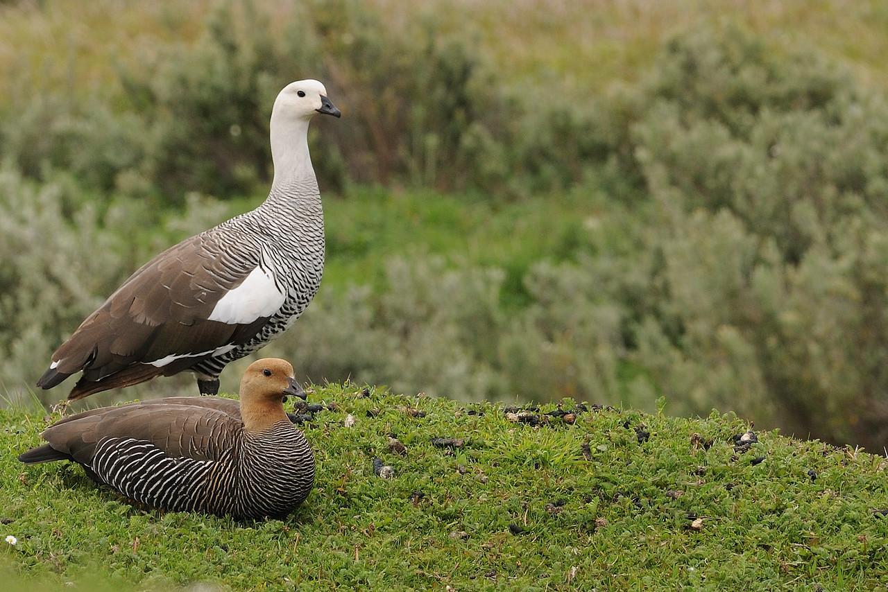 Upland geese pair in Tierra del Fuego NP.