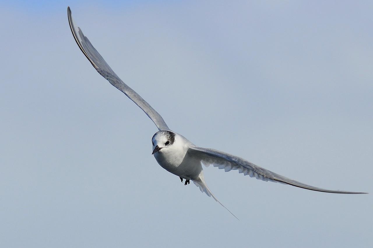 juvenile arctic tern