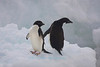 Adelie Penguins on Iceberg, Paulet Island, Antarctica
