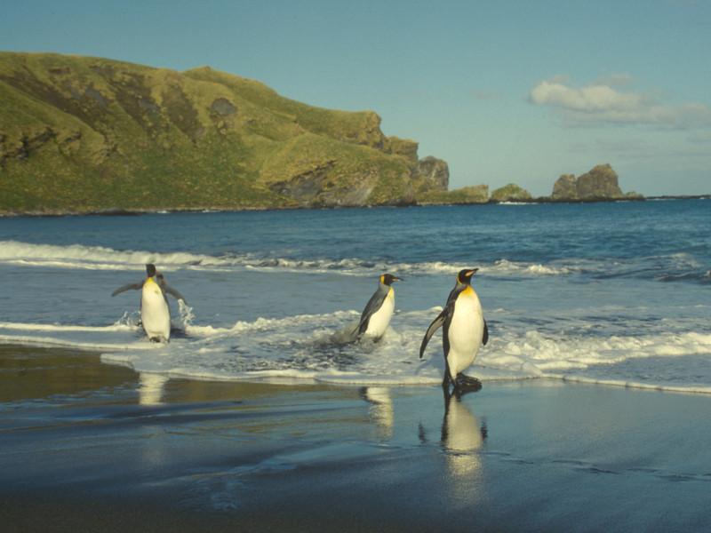 King Penguin, Aptenodytes patagonicus. South Georgia Is.