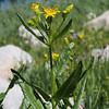 Arrow-leaf Groundsel (Senecio triangularis).