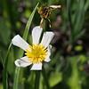 White Marsh Marigold (Caltha leptosepala).