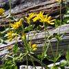 Hairy arnica (Arnica mollis).