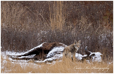 Coyote on a bison carcass.
