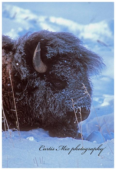 Winter in Yellowstone.