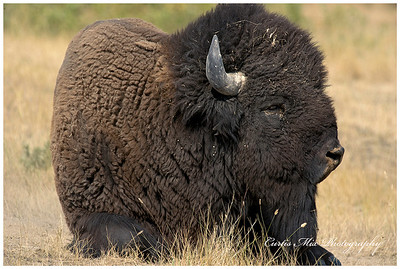 Big bull.