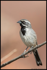 This Black Throated Sparrow posed for me briefly as the sun poked through the clouds for a moment.