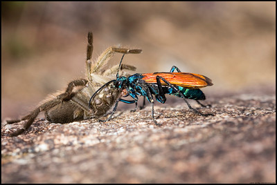 Watching a Tarantula Hawk Wasp drag a previously bitten Tarantula back to the lair to lay an egg.