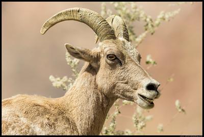 One of the female big horn sheep.