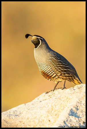 Caught this California Quail sunning itself in the first rays of the morning.