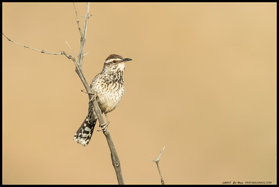 Early morning Cactus Wren in between causing trouble with the quail.