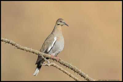 White Winged Dove on an Ocotillo branch.