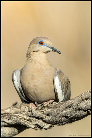 This White Winged Dove was apparently not really bothered by my presence as it let me get closer and closer, then sat down on the branch.