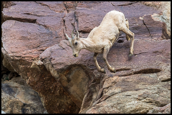 A yearling Big Horn Sheep decided to lose a little altitude.