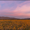 Pre-Dawn lighting over the desert flowers.