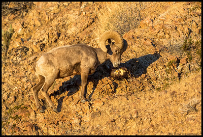 One of the ram's in the Anza Borrego herd of Peninsular Big Horn Sheep stopping by the Cactus Cafe.