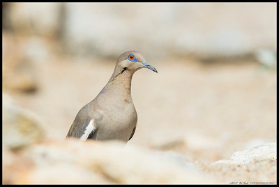 A curious White Winged Dove poked its head over the rocks to see what was going on.