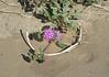 Purple Wildflowers<br /> Anza Borrego Desert State Park